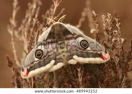 Emperor Moth (Saturnia pavonia) perched on Heather.