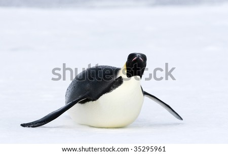 Emperor penguin (Aptenodytes forsteri) sliding on the ice in the Weddell Sea, Antarctica - stock photo