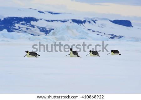 Emperor Penguins in Antarctica - stock photo
