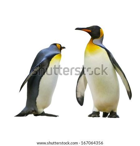 Emperor penguins. isolated on white background - stock photo
