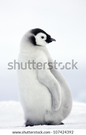 Emperor penguins, young birds, the Antarctic. - stock photo
