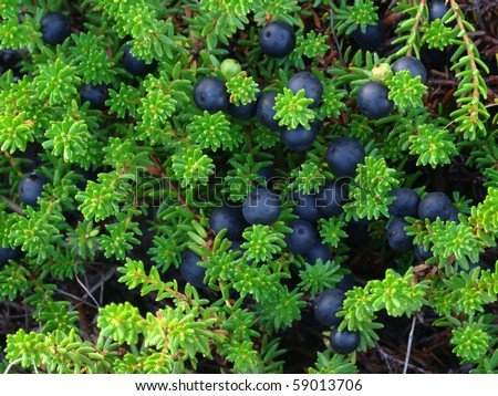 Empetrum sp. (crowberry) is small watery arctic berry - stock photo