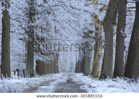 empty lane of trees with hoarfrost on a cold winter morning in Holland. Shallow D.O.F.