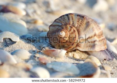 Empty seashell of marine mollusc rapana venosa on the Black Sea coast - stock photo