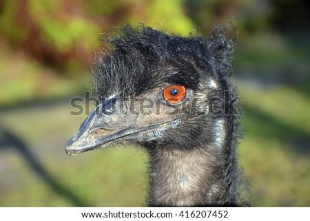 Emu in profile, Australia - stock photo