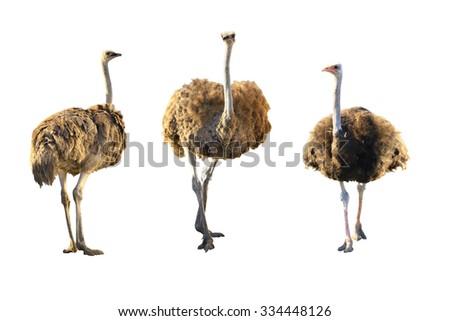 Emus isolated on white background. - stock photo