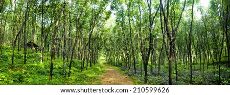 Enchanting forest lane in a rubber tree plantation, Kerela, India.  - stock photo
