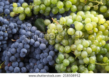 End of September, the time of the grape harvest  - stock photo
