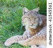 endangered beautiful lynx pardinus or lynx pardina aka iberian lynx - stock photo