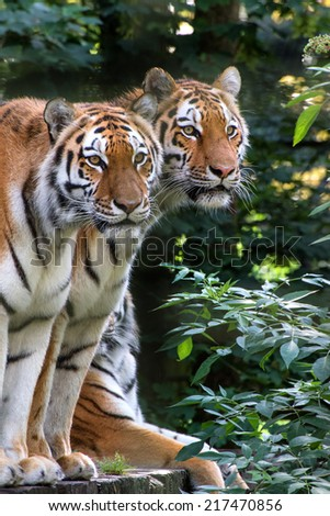 Endangered Bengal tiger is captivity