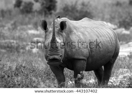 Endangered black rhino - stock photo
