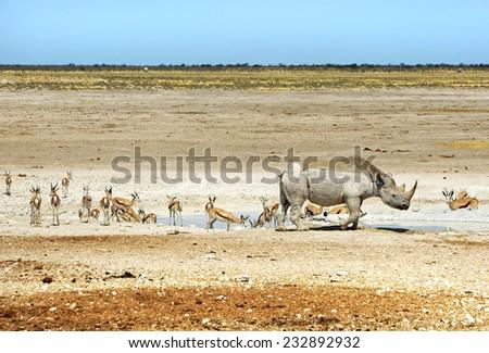 Endangered Black Rhino and variety of other game in Etosha - stock photo