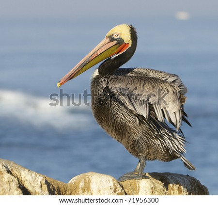 Endangered California Brown Pelican, Pelecanus occidentalis, on cliff rocks with wings stretched, stretched - stock photo