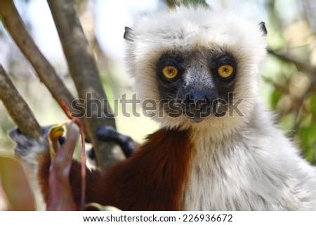 Endangered Coquerel's Sifaka Lemur (Propithecus coquereli), Madagascar - stock photo