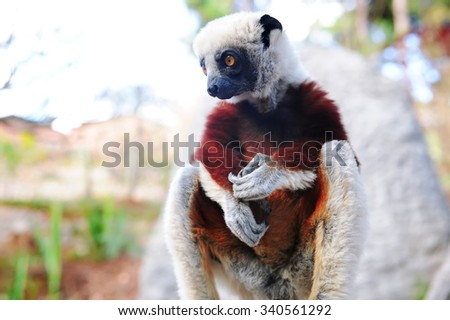 Endangered Coquerel's Sifaka (Propithecus coquereli) rests and looks in a tree in a rain forest in Madagascar  - stock photo