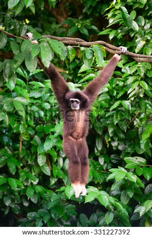 Endangered, cute, agile furry wild primate, Gibon hanging from a tree looking around - stock photo