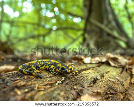 Endangered Fire Salamander Newt Found in Old European Forests like Hasbruch, Germany - stock photo