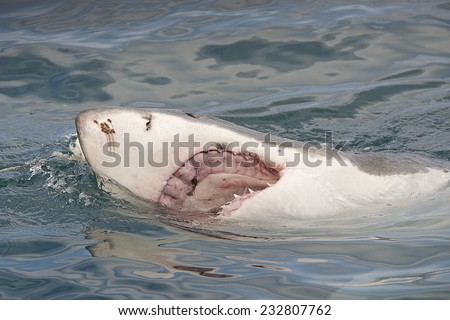 Endangered great white Shark breaching the surface of the ocean showing an open mouth and jaws - stock photo