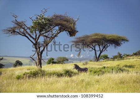 Endangered Grevy's Zebra and Acacia Tree in foreground in front of Mount Kenya in Kenya, Africa - stock photo