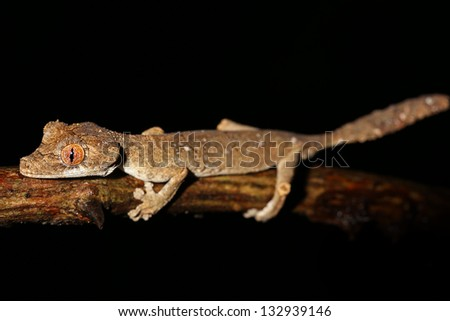 Endangered Gunther's Leaf-tailed Gecko (Uroplatus guentheri) in Madagascar (Ankarafantsika). This is one of the most rare, threatened and vulnerable leaf-tail geckos.