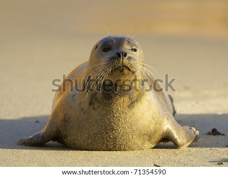 Endangered Harbor Seal on beach in morning light in La Jolla California - stock photo