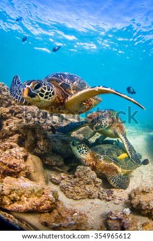 Endangered Hawaiian Green Sea Turtle cruising in the warm waters of the Pacific Ocean on Oahu's North Shore, Hawaii. - stock photo