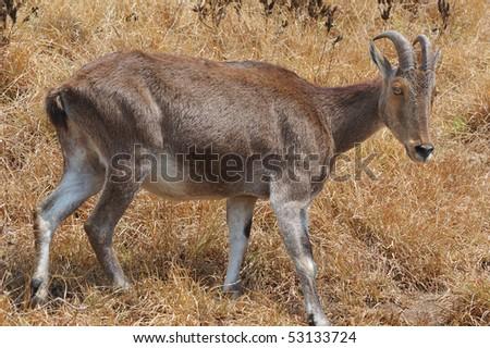 Endangered Nilgiri Tahr Wild Goat in the Western Ghat Mountains, Southern India - stock photo