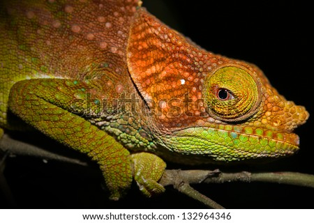 ENDANGERED O'Shaughnessy's Chameleon (Calumma oshaughnessyi) in the Ranomafana Rain Forests of Madagascar. Listed as Vulnerable by the IUCN.  Leaves, branch, forest, foliage, tree, rain. - stock photo