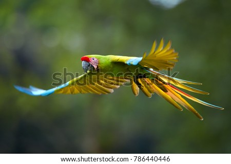 Endangered parrot, Great green macaw, Ara ambiguus, also known as Buffon's macaw. Green-yellow, wild tropical forest parrot, flying with outstretched wings against blurred background. Costa Rica.
