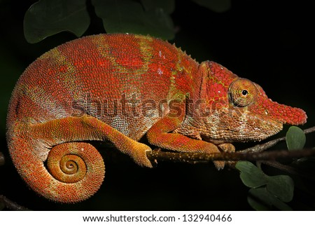Endangered pink Rhinoceros Chameleon (Furcifer rhinoceratus) resting on a branch in rain forest in Ankarafantsika, Madagascar. Species is threatened (designated vulnerable). - stock photo