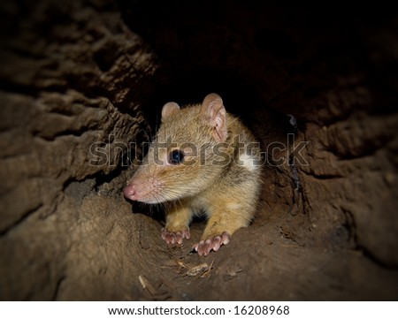 Endangered Quoll sitting in log with head turned - stock photo