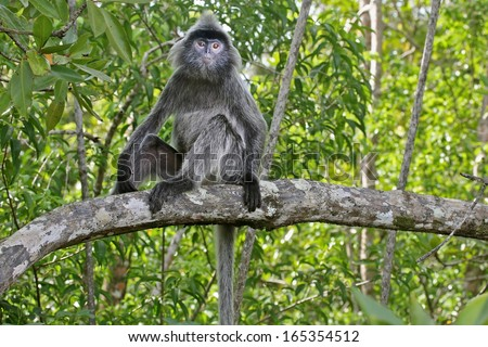 Endangered Silver Leaf Monkey or Silvery Lutung (Trachypithecus cristatus) sitting in a tree in the jungles of Borneo. AKA Silvered Leaf or Silvery Langur. This is mangrove forest in coastal Malaysia. - stock photo