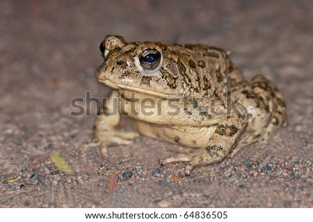 Endangered Species Amargosa toad Bufo nelsoni in Ash Meadows National Wildlife Reserve, Nevada - stock photo