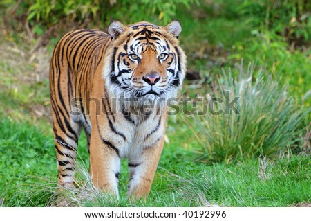 Endangered Sumatran tiger coming out of the jungle in a wildlife preserve in America - stock photo