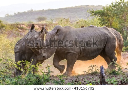 Endangered wild rhinos fighting in dust at sunset - stock photo
