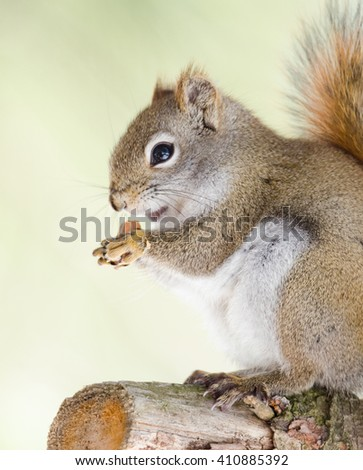 Endearing, springtime Red squirrel, close up,  Sitting up on a broken branch stump on a pine tree, paws holding onto a peanut for lunch.