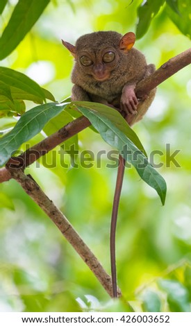 endemic animal Tarsier sleeping in a tree at Bohol Tarsier sanctuary forest, Philippines - stock photo