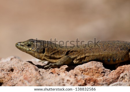 Endemic Lilford's Wall Lizard on Sa Dragonera near Mallorca, Spain