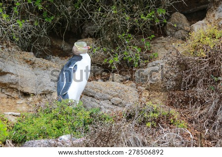 Endemic Yellow-Eyed penguin Megadyptes Antipodes, New Zealand, South Island, Oamaru - stock photo