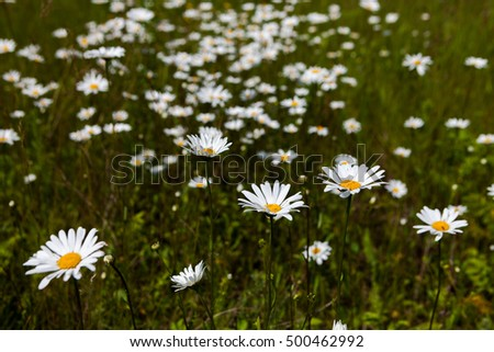 endless fields of flowering mustard yellow daisy white blue sky clouds summer feeling infinite expanse of the bee field flower glow Russia joy happiness smile background card celebration