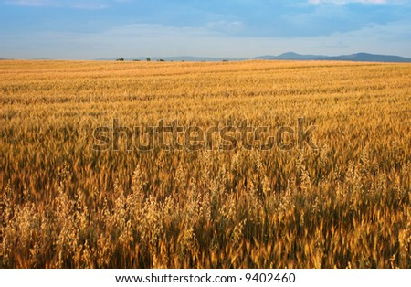 Endless grain fields during late summer - stock photo