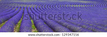 Endless lavender field (Provence,France) - stock photo