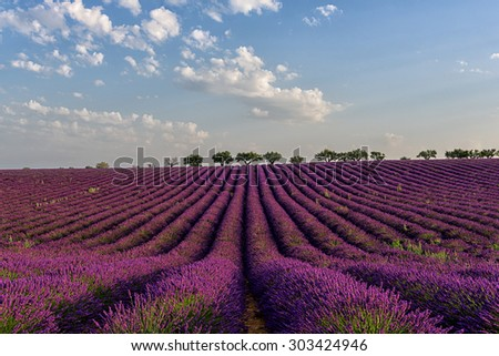 endless rows blooming flowers of lavender in the lavender fields of the French Provence near Valensole