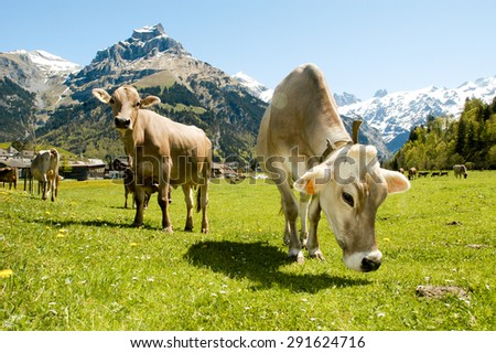 Engelberg, Switzerland - 4 May 2002: Brown cows in the alpine meadow in Engelberg - stock photo