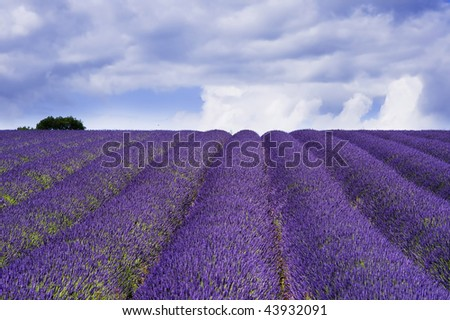 england gloucestershire the cotswolds snowshill lavender farm lavender fields