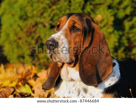 English Basset Hound in autumn hunting dog for small game origin race Basset d'Artois - stock photo