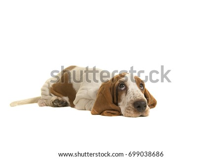 English basset hound puppy lying down on the floor looking up isolated on a white background
