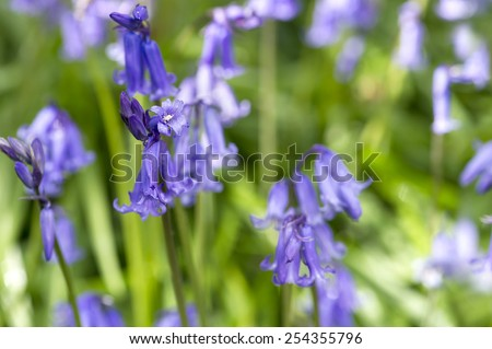 English Blue Bells in the forest close-up - stock photo
