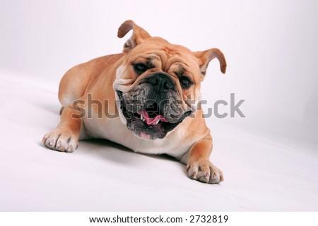 English bull dog laying down - stock photo