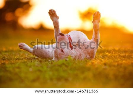 english bull terrier dog lying upside down in sunset light - stock photo